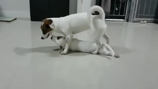 Mamma dog plays tug-of-war with her puppy