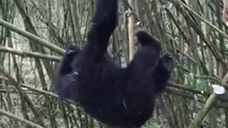 Baby gorilla play