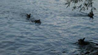 German Shepherd dogs are good swimmers