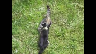 cat fight one crazy fighting cats compilation video
