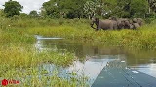 Amazing elephant saves baby elephant from a crocodile!!!