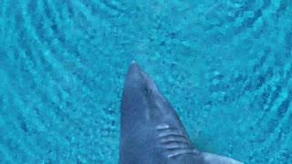 Shark swimming behind the woman