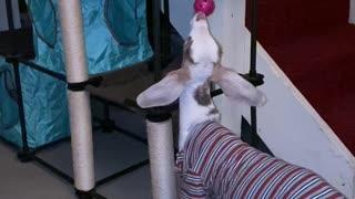 Taffi playing