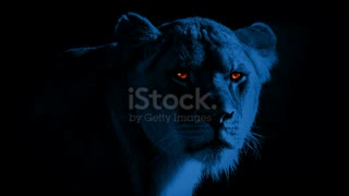 Lioness With Burning Bright Eyes At Night