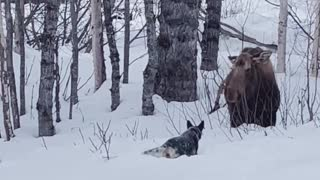 Moose Ignores Dog, Dog Ignores Human