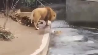 Adorable lions funny video - Adorable lion tries to rescue his friend