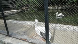 Magnificent pelicans at the zoo.