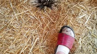 Rooster vs shoe