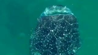 Snorkeling w/ Whale Shark