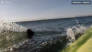 Tubarão-branco aparece assustadoramente perto de surfista na Califórnia
