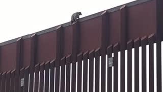 Raccoon Stuck on Boarder Wall