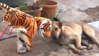 tiger prank /scared dog