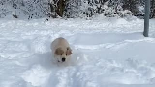 Snow Baby Golden Retriver