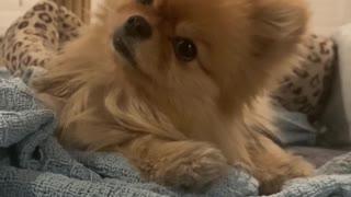 Pomeranian Pup Has Adorable Head Tilts