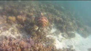 Sea turtle in beautiful philippines sea coral reef