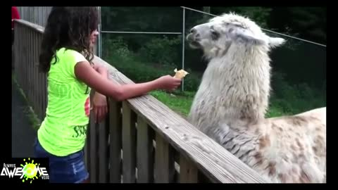 AWESOME Llama spit compilation Funny Pino Llama spits in womans face