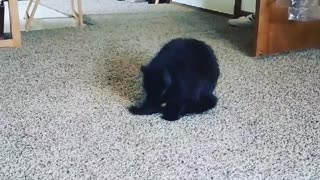 Kitty Chasing her tail!