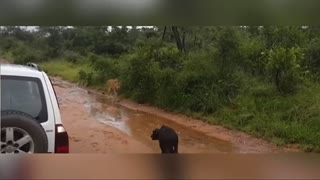 A female African buffalo defends her young a lioness trying to catch it