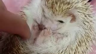 hedgehog wants scratch