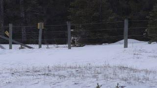 Bighorn Sheep Lamb Flips Through Fence