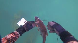 Spearfishing for Rockfish - Monterey - Carmel - Big Sur