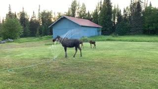 Moose Family Plays in Backyard Sprinklers
