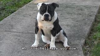 Buster Brown the English Bulldog