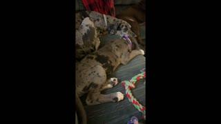 Service Dog: More Puppy Videos of Gemini!
