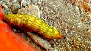 Caterpillar Monarch