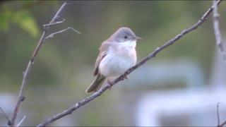 Beautiful song of a little bird.