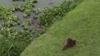 Raccoon Doesn't Want to Become Dinner