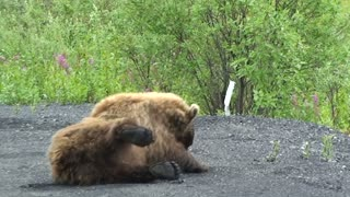 Grizzly Uses Road to Scratch His Back
