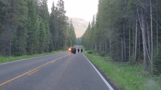 Bison coming down the road