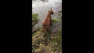 Mister Brown The Rhodesian Ridgeback; little puppy, big life