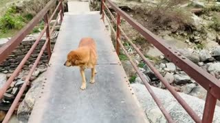 Dog fear to cross the bridge