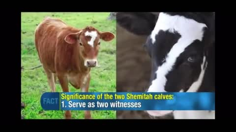 2 Cows: Male Cow 7 & Female Red Heifer 7: 2014 Prophetic Sign Steve Mac 88 YT