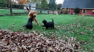 Puppy Recess with Golden Doodles