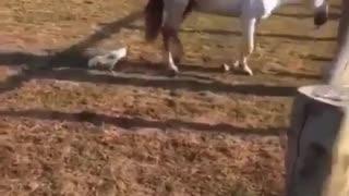Hen vs Horse