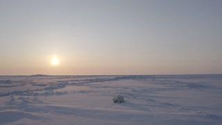 Polar bear on the Yamal Peninsula
