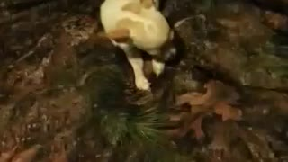 Chihuahua named precious