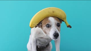 Jack Russell dog balances the head of a banana and drops a fruit. a stranger