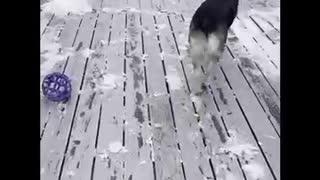 German Shepherd Dog Turns Aggressive on Owner