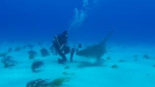 Very curious tiger shark attacks diver's camera