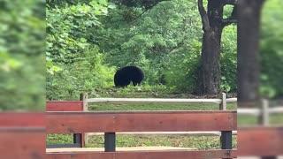 Black Bear In Downtown Gatlinburg Tennessee