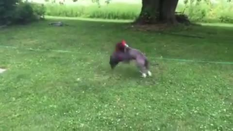 Pitbull Puppy and The Rooster Part 2