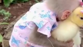 A small monkey plays with a chicken