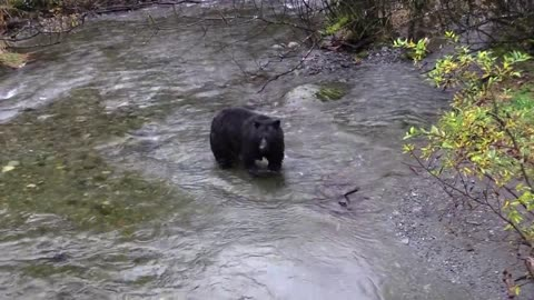 Hungry black Bear try to fishing (Part 1)
