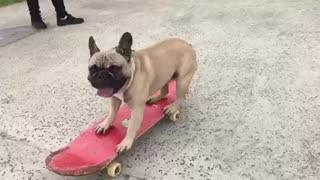 French Bulldog shows off serious skateboarding skills