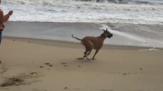 Great Dane on beach