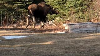 Perturbed Moose Throws Tantrum In Backyard